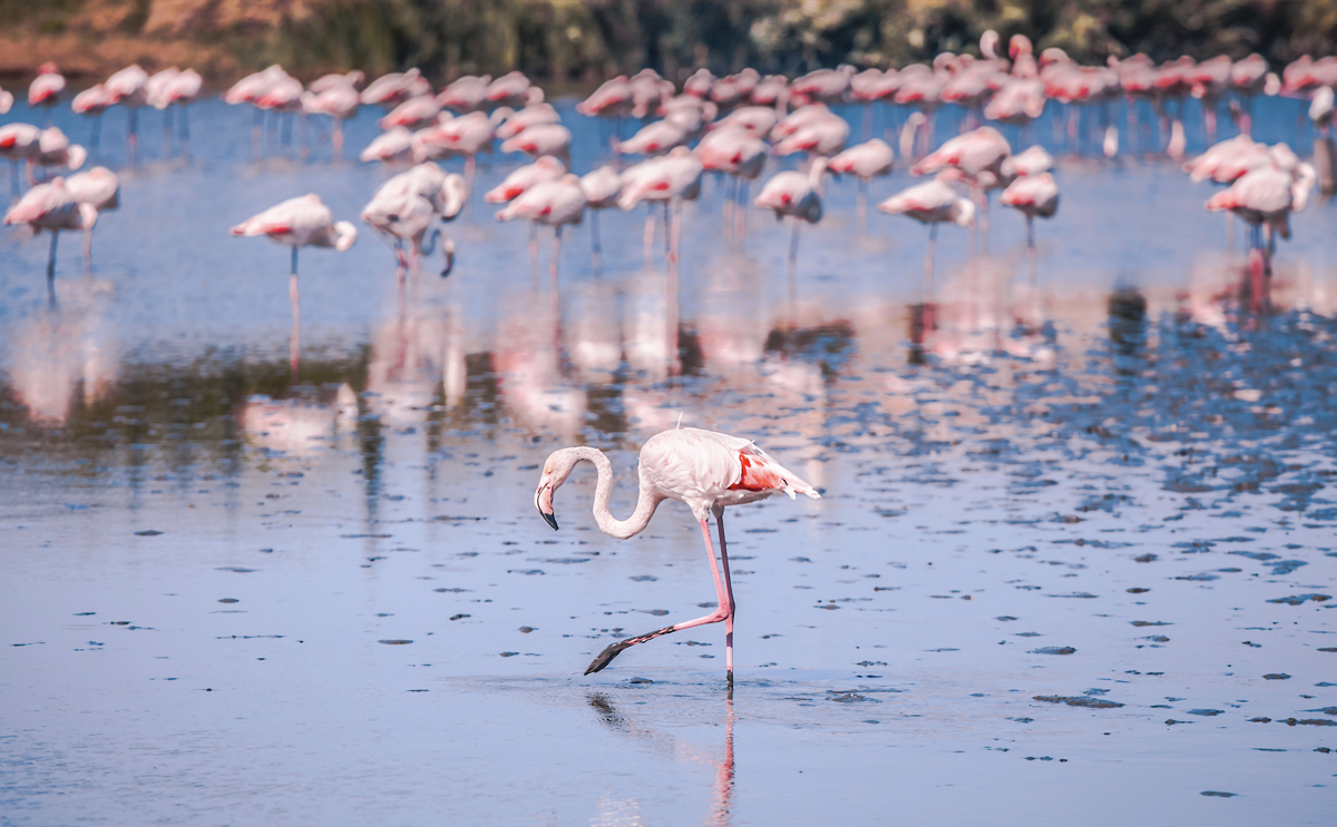 Greater flamingos in Torrevieja
