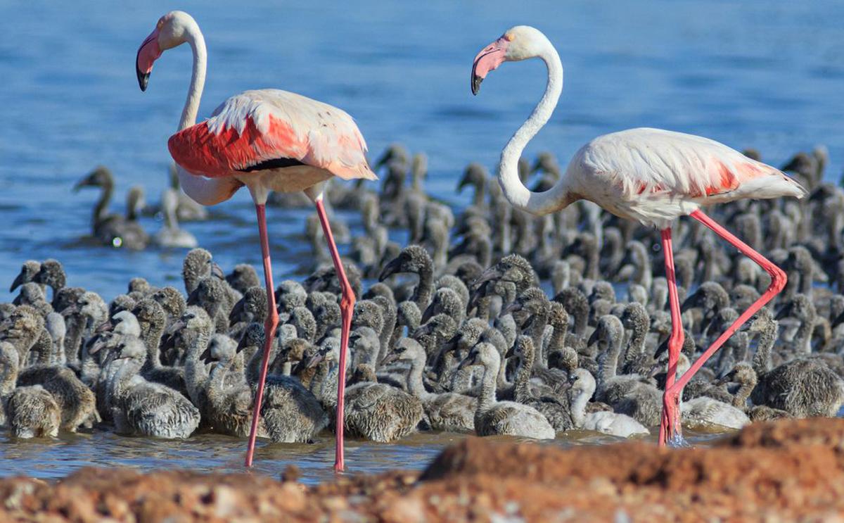 Baby Flamingos in Torrevieja, Costa Blanca